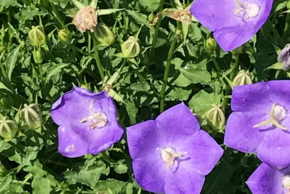 campanula-blue-clips-flower-detail